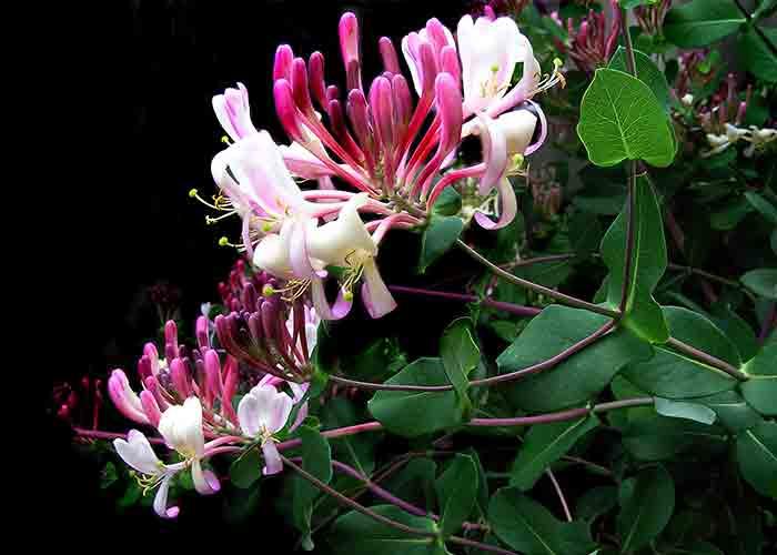 honeysuckle Aries flower